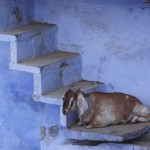 Goat on Stair