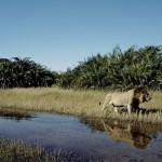 Lions Botswana