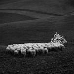 Umbria Sheep